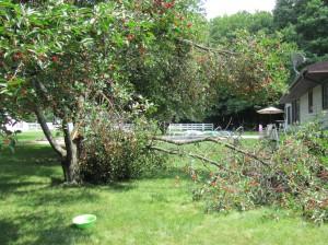 cherry tree broken limb